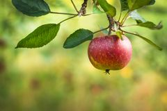 Red apple on a branch. Selective focus,. Copy space Stock Photography