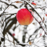Red apple on a branch in the snow Royalty Free Stock Image