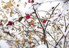 Red apple on a branch in the snow Stock Images