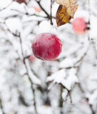 Red apple on a branch in the snow Royalty Free Stock Photography