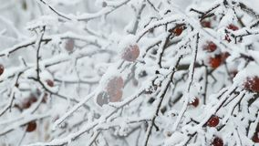 Red apple branch in the snow in winter. Red apple on branch in the snow in winter stock video