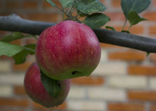 Red apple on the branch Stock Photos