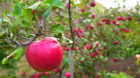 Red apple on branches in garden. Close up shot of red apples hanging on the tree in the garden stock footage