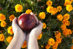 Red apple in child's hands on flower background Stock Images