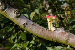 Red apple core on tree branch in orchard. In golden hour light. Close up horizontal view Royalty Free Stock Image
