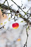 Red apple covered with snow Royalty Free Stock Photos