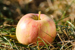 Red apple is on a dry grass Stock Photography