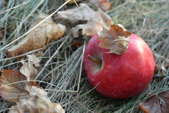 Red apple on the dry grass among the fallen autumn leaves Stock Images