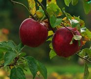 Red Apple in the fall. Early in the fall season this apple's caught my eye,sun was shining and the crispy fall nights were upon us,one branch ,two apples Stock Images