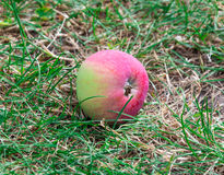 Red apple fallen in the grass Royalty Free Stock Photography