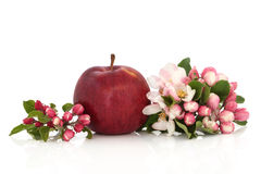 Red Apple and Flower Blossom. Red apple with flower blossom leaf sprigs isolated over white background. Empire variety stock photos