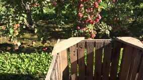 Red apple fruit harvest in wooden box at autumn garden. 4K. Red fresh apple fruit harvest in wooden box at autumn garden. 4K UHD video clip stock video footage