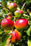 Red apple fruits on the tree Royalty Free Stock Photo