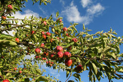 Red apple fruits on the tree Royalty Free Stock Image