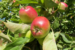 Red apple fruits on the tree Royalty Free Stock Images