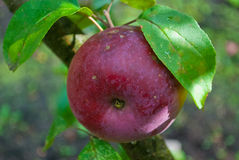Red apple, garden Royalty Free Stock Photography