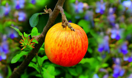 Red apple in garden Royalty Free Stock Photo