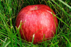 Red Apple In Grass. Red apple in green grass Stock Images