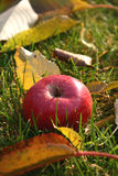 Red apple in the grass. Red apple laying in the grass in the autumn garden Royalty Free Stock Photo