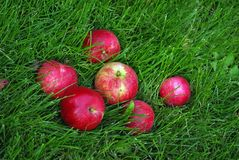 Red Apple In Grass. The red ripe apple in green grass Stock Photo
