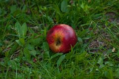 Red apple on the grass.Fruit. Red apple on the grass fruit green nature isolated ripe harvest tree leaf food juicy autumn royal gala studio color woodland bright stock photography