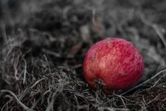 Red apple on grass. On ground royalty free stock photography