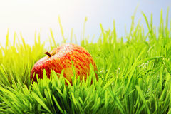 Red apple on green grass Stock Image