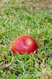 Red apple in green grass Stock Photography