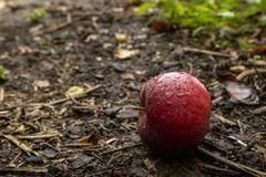 Red apple on the ground stock photography