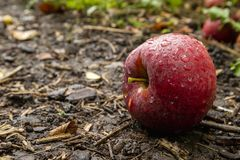Red apple on the ground stock image