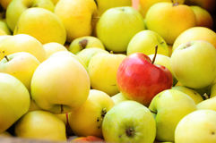 Red apple among group of yellow apples Royalty Free Stock Images