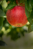 Red Apple growing on an Apple Tree Stock Photography