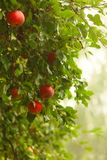 Red apple growing on tree. Natural products. Stock Images