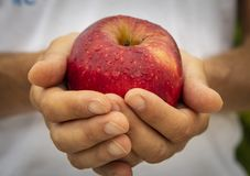 Red apple in the hands of farmer stock images