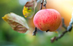 Red apple hanging on the branch Royalty Free Stock Photography