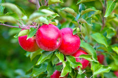 Red apple hanging on a branch Stock Photo