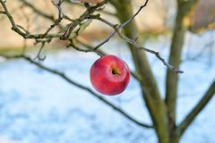 A red apple hanging in a dry tree Royalty Free Stock Image