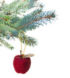 Red apple hanging on fir tree Stock Images