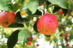 Red Apple hanging in the tree Stock Photography