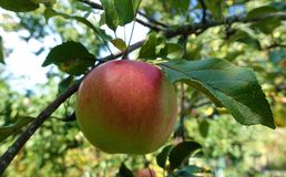 Red apple hanging on a tree on a sunny day stock images
