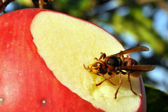 Red apple and hornet Stock Photos