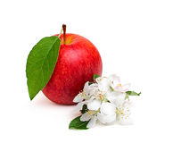 Red apple with leaf and apple flowers. Royalty Free Stock Photo