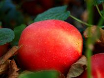 Red apple between the leaves. Autumn background. Red apple between the leaves royalty free stock photo