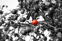 Red apple one standing out from the crowd Royalty Free Stock Photos
