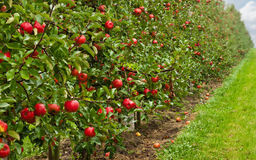 Red apple orchard Stock Image