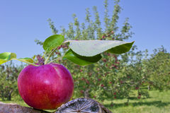 Red apple in orchard. Royalty Free Stock Image