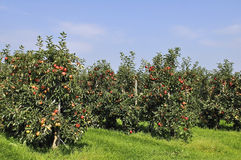Red apple orchard Royalty Free Stock Photography