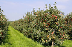 Red apple orchard Stock Photo