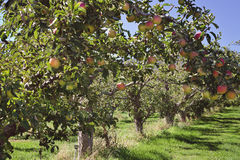 Red Apple Orchard. Delicious Red Apples in the orchard ready for picking Stock Images