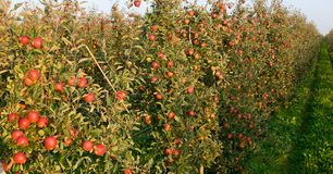 Red apple orchard Royalty Free Stock Images